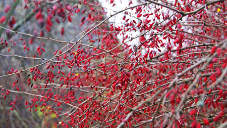 Leafless branches of red barberry plant in autumn