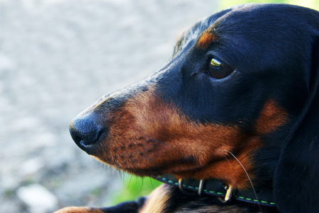 Closeup of Dachshund sitting and resting in the street