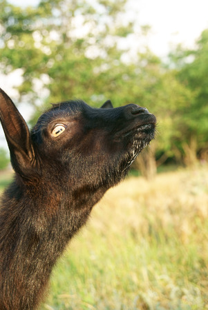 Black baby of goat with drops of milk on its neb
