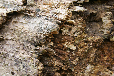 Texture background of old insect-eaten rotten wooden trunk Stock Photo