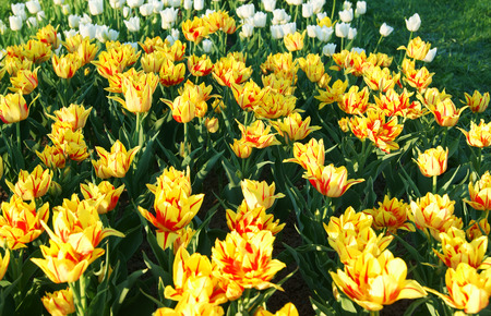 Field of colorful springtime yellow and red striped double tulips Stock Photo