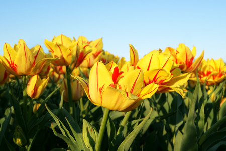 Group of striped tulips on clear sky background in the evening sunlight