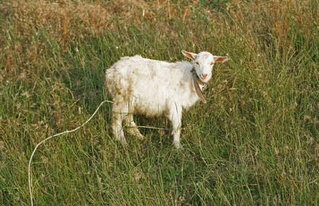 Smiling white little goat kid in the grassy meadow