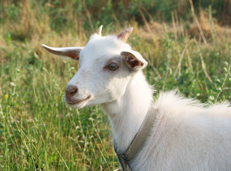 Smiling white goat in the sunny meadow, a portrait