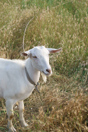White goat in the ripen rye field, a vertical portrait Stock Photo