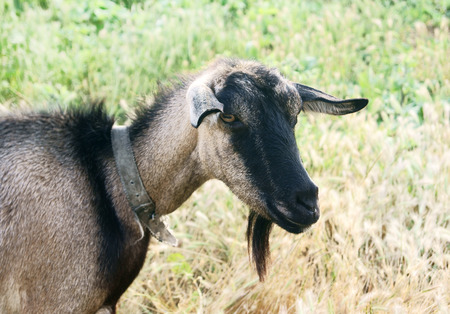 Black goat walking in the ripen rye field, a portrait Stock Photo