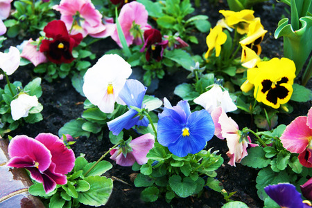 Viola Flowers pansy in urban planting after rain