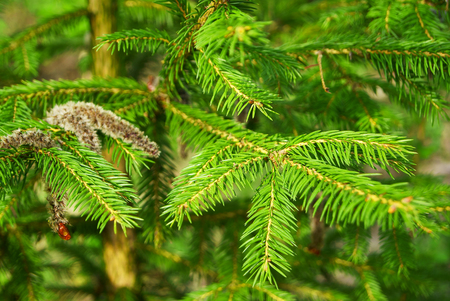 Green branch of fir tree in the forest