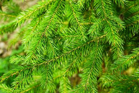 Background of green branch of fir tree plant in nature Stock Photo