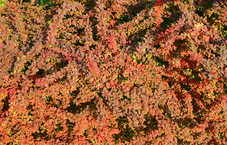 Background view on decorative bush Berberis thunbergii with red leaves