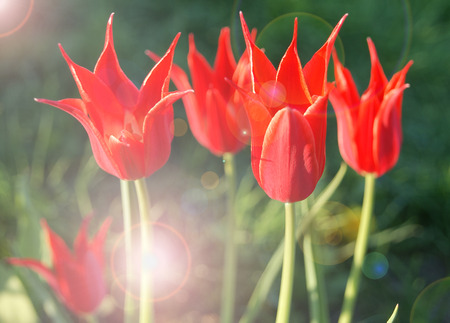 Group of beautiful colorful red pointed tulips