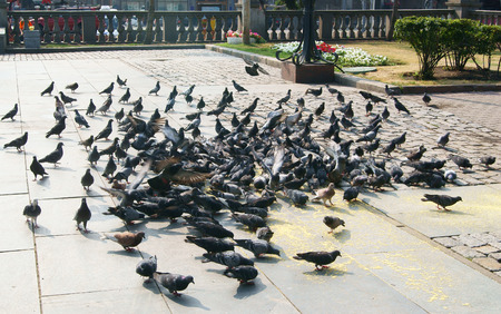 Group of pigeons feeding in the street