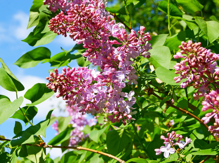 Lilac syringe flowers blooming on green bush under blue sky