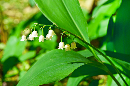White Lily of the valley blooming in the forest