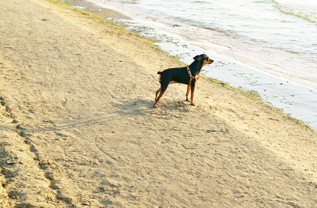 min: Miniature Pincher or Min Pin wearing harness standing on sandy beach near the sea and waiting