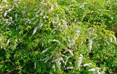 White spiraea bush blooming in spring garden background Stock Photo