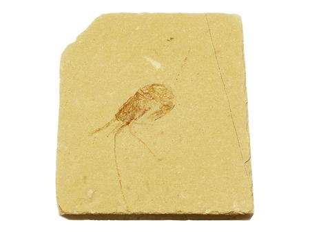 carboniferous: Relic shrimp Carpopenaeus Longistrosis fossilized specimen from the upper Cretaceous Period in Lebanon
