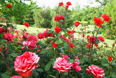 Beautiful bushes of red roses in green peaceful park Stock Photo