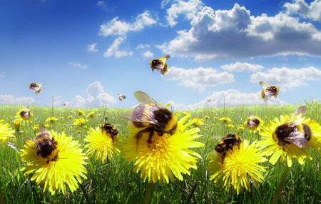 with pollen: Bumble bees in the meadow of flowers Stock Photo
