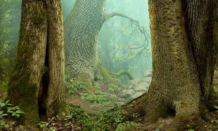 oaks: Mysterious fantasy forest landscape Stock Photo