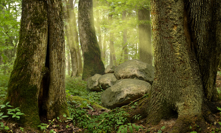 massive: Forest with old mossy trees rocks mist