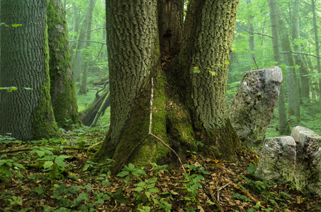 large tree: Forest landscape with old mossy trees, mist and rocks