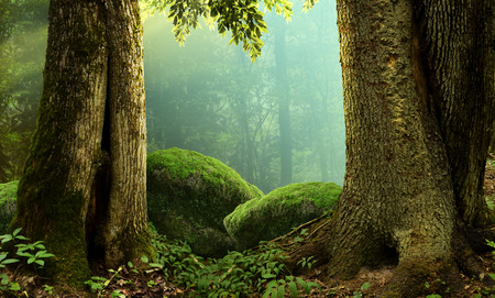 hollow tree: Forest landscape with old massive trees and mossy stones