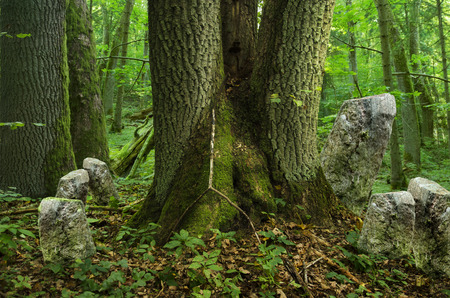 hollow tree: Deep forest with old massive triple tree and rocks