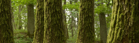 Forest panorama landscape with mossy trees
