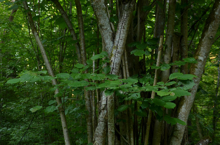 arboles frondosos: Árbol de nuez en el bosque verde oscuro