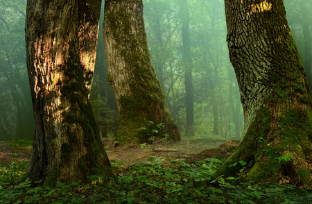 massive: Forest landscape with old mossy trees Stock Photo