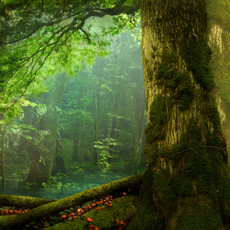 Summer forest landscape, mossy tree, green foliage, shaped branch, haze, red mushrooms Stok Fotoğraf