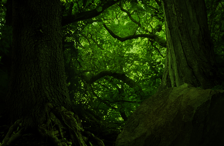 Mysterious old trees with massive shaped branches in dark green forest 写真素材