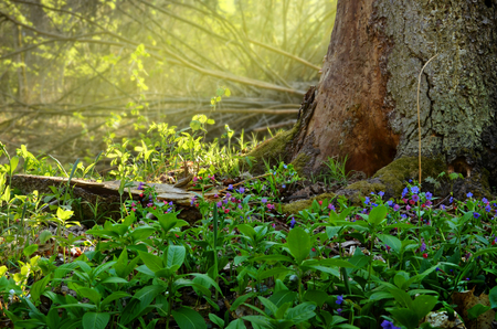 Spring forest landscape with blue scilla flowers, green grass, young leaves, old tree and transparent yellow sunlight