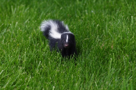 Baby Skunk photo