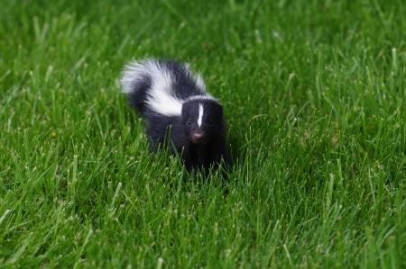 zorrillo: Skunk beb�