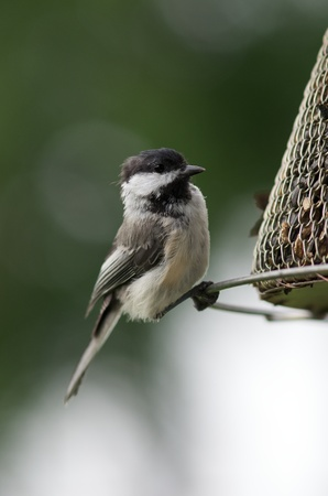 capped: Black-Capped Chickadee
