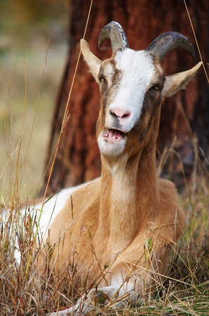 Goat chewing cud Imagens - 12860627