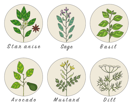 dill: Set of spices, herbs and officinale plants icons. Healing plants. Medicinal plants, herbs, spices hand drawn illustrations. Botanic sketches icons. Illustration