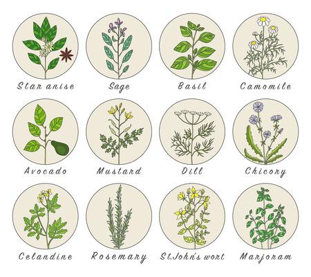 Définir des épices, des herbes et des plantes officinale icônes. Plantes médicinales. Les plantes médicinales, des herbes, des épices illustrations tirées de la main. Botanic esquisse icônes.