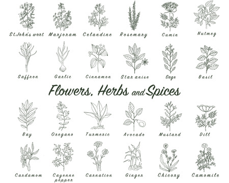 marjoram: Set of spices, herbs and officinale plants icons. Healing plants. Medicinal plants, herbs, spices hand drawn illustrations. Botanic sketches icons. Illustration