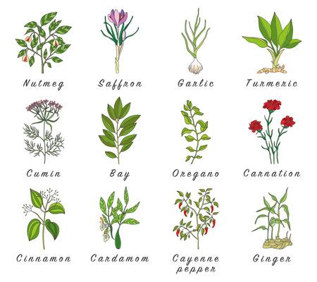 Set di spezie, erbe e piante officinale icone. Piante di guarigione. piante officinali, erbe, spezie Illustrazioni di mano disegnato. Botanico schizzi icone.