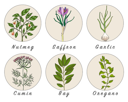 nutmeg: Set of spices, herbs and officinale plants icons. Healing plants. Medicinal plants, herbs, spices hand drawn illustrations. Botanic sketches icons. Illustration