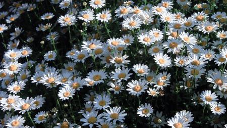 small field: white daisy flower in small field
