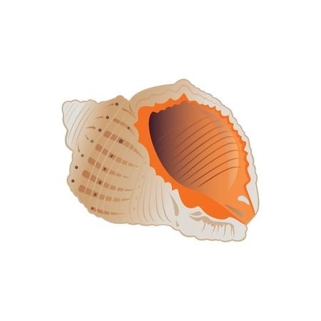 conch: Seashell illustration