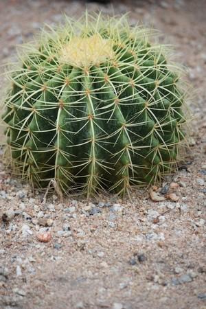 unicellular: Cuctus su Pebble in Thailandia