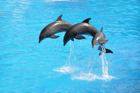 dolphin jumping: Three dolphins