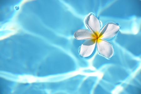 Fleurs de frangipanier dans la piscine