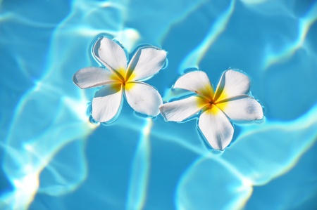 Frangipani flowers in the swimming pool  photo