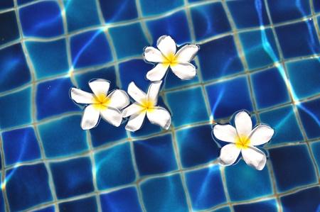 Frangipani flowers in the swimming pool  photo